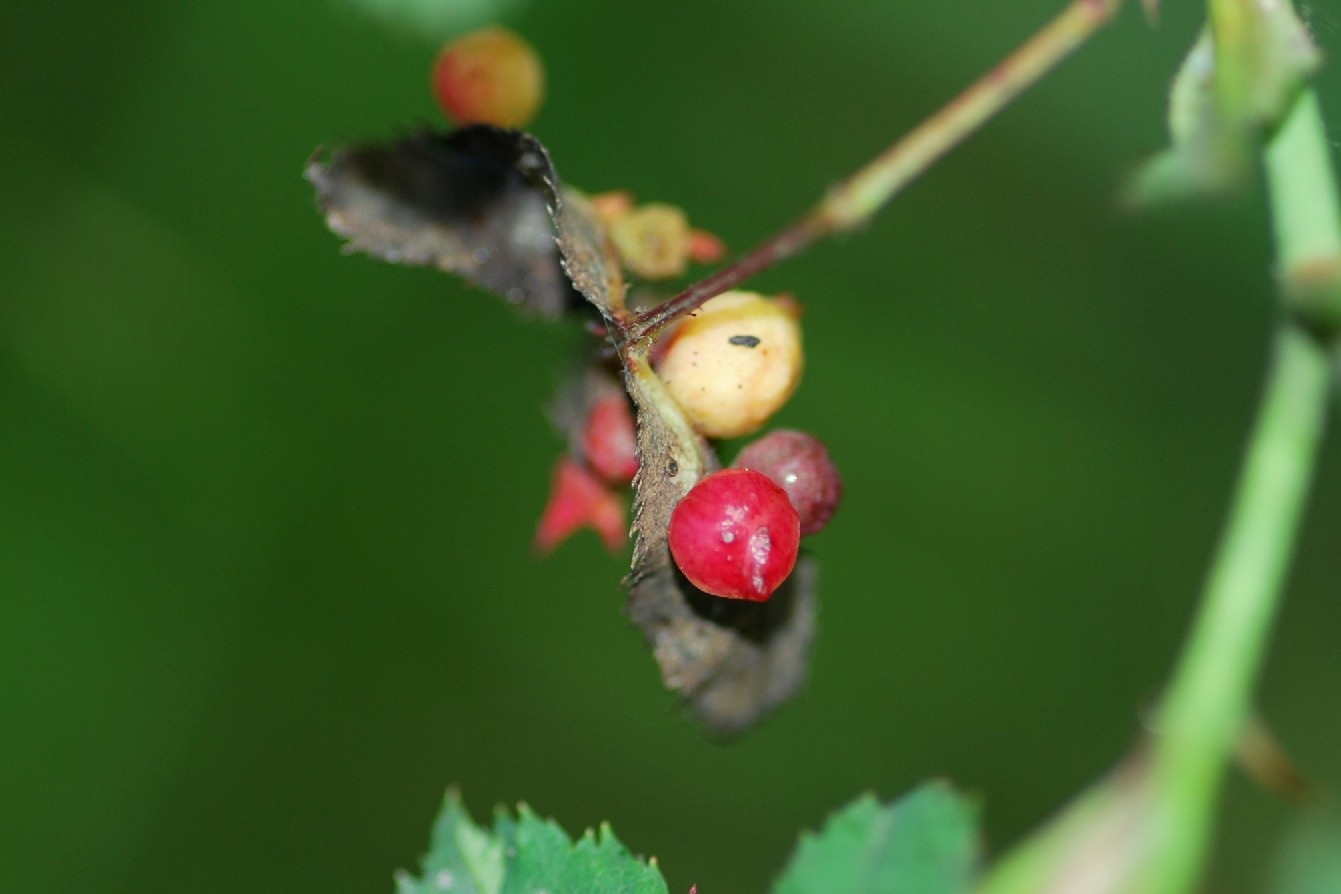 Diplolepis eglanteriae - Hymenoptera, Cynipidae  (Rosa canina)