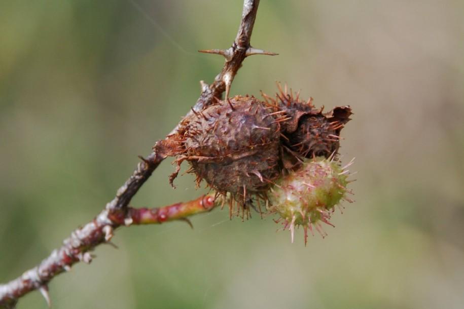 Diplolepis mayri - Hymenoptera, Cynipidae