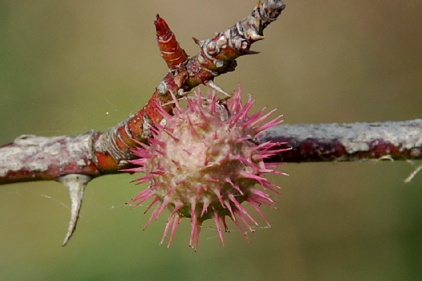 Diplolepis mayri - Hymenoptera, Cynipidae  (Rosa)
