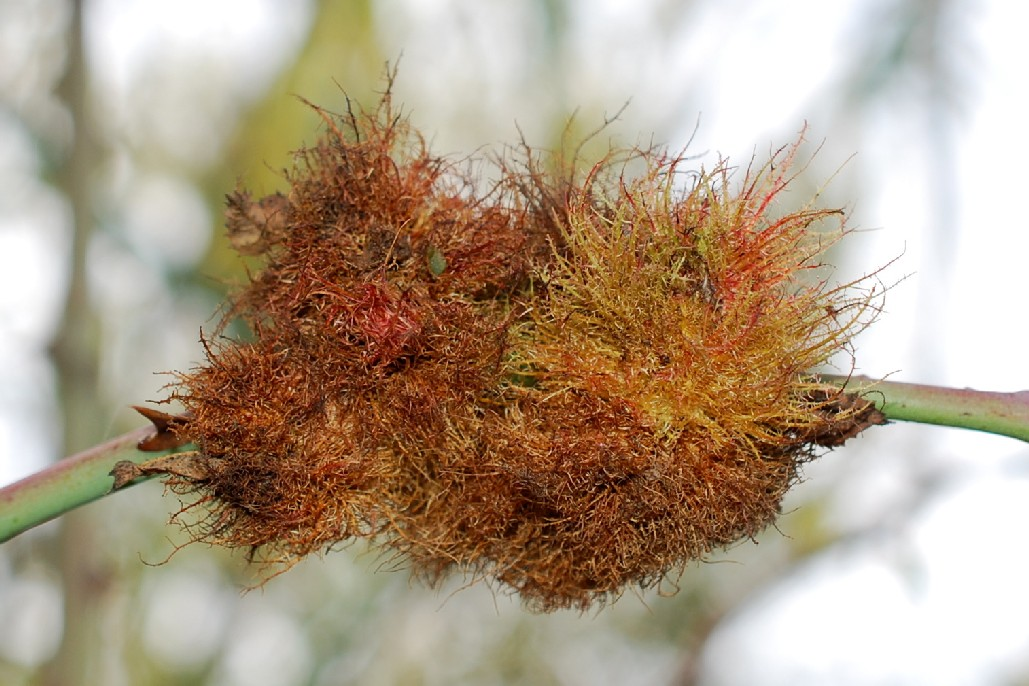 Diplolepis rosae - Hymenoptera, Cynipidae 5