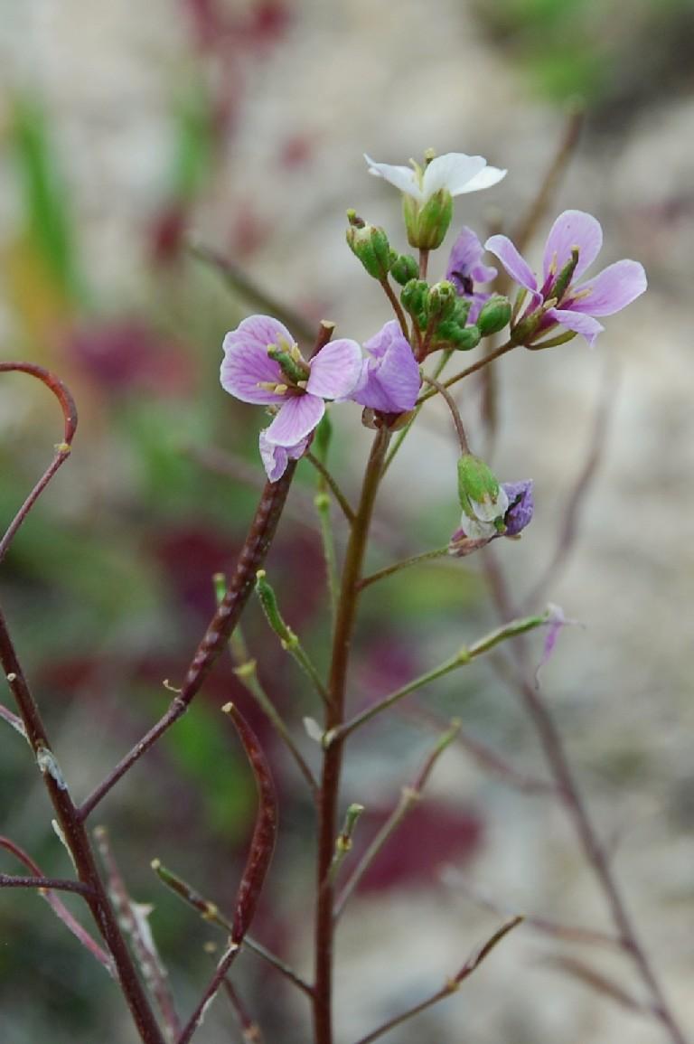 Diplotaxis erucoides subsp. erucoides 10