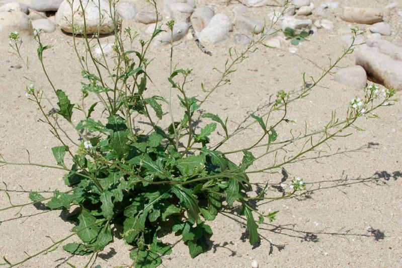 Diplotaxis erucoides subsp. erucoides 14