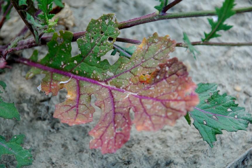 Diplotaxis erucoides subsp. erucoides 19