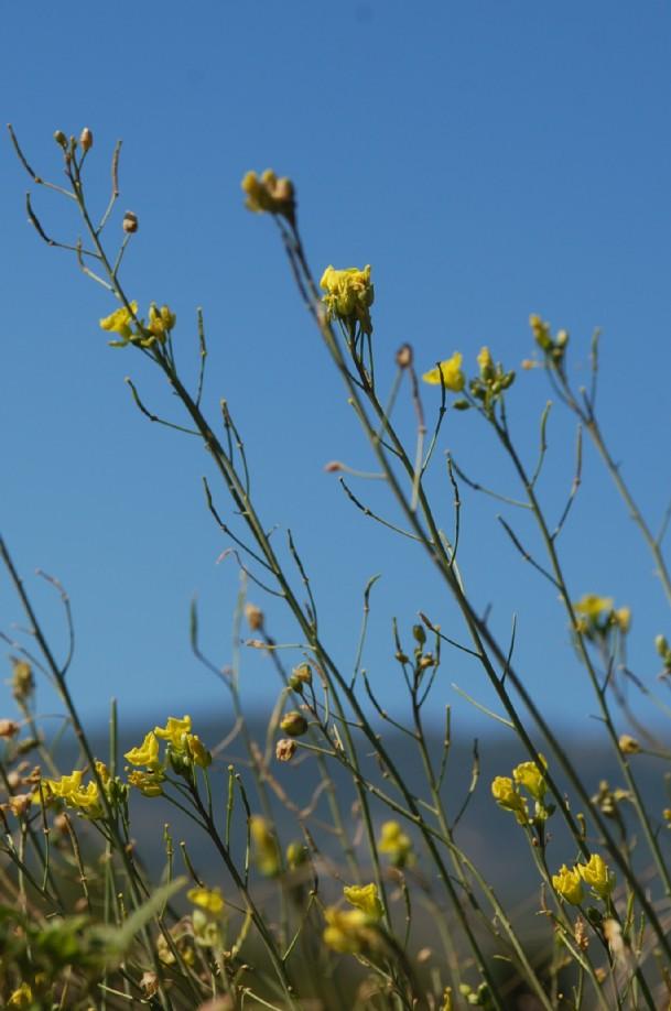 Diplotaxis tenuifolia 11