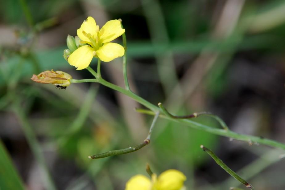 Diplotaxis tenuifolia 4