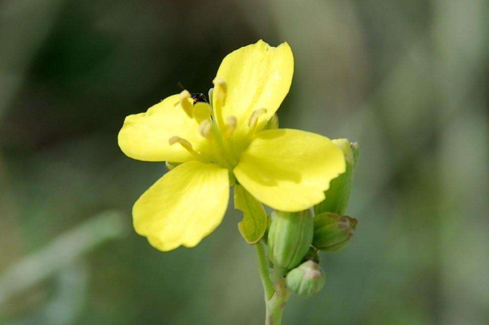 Diplotaxis tenuifolia 7