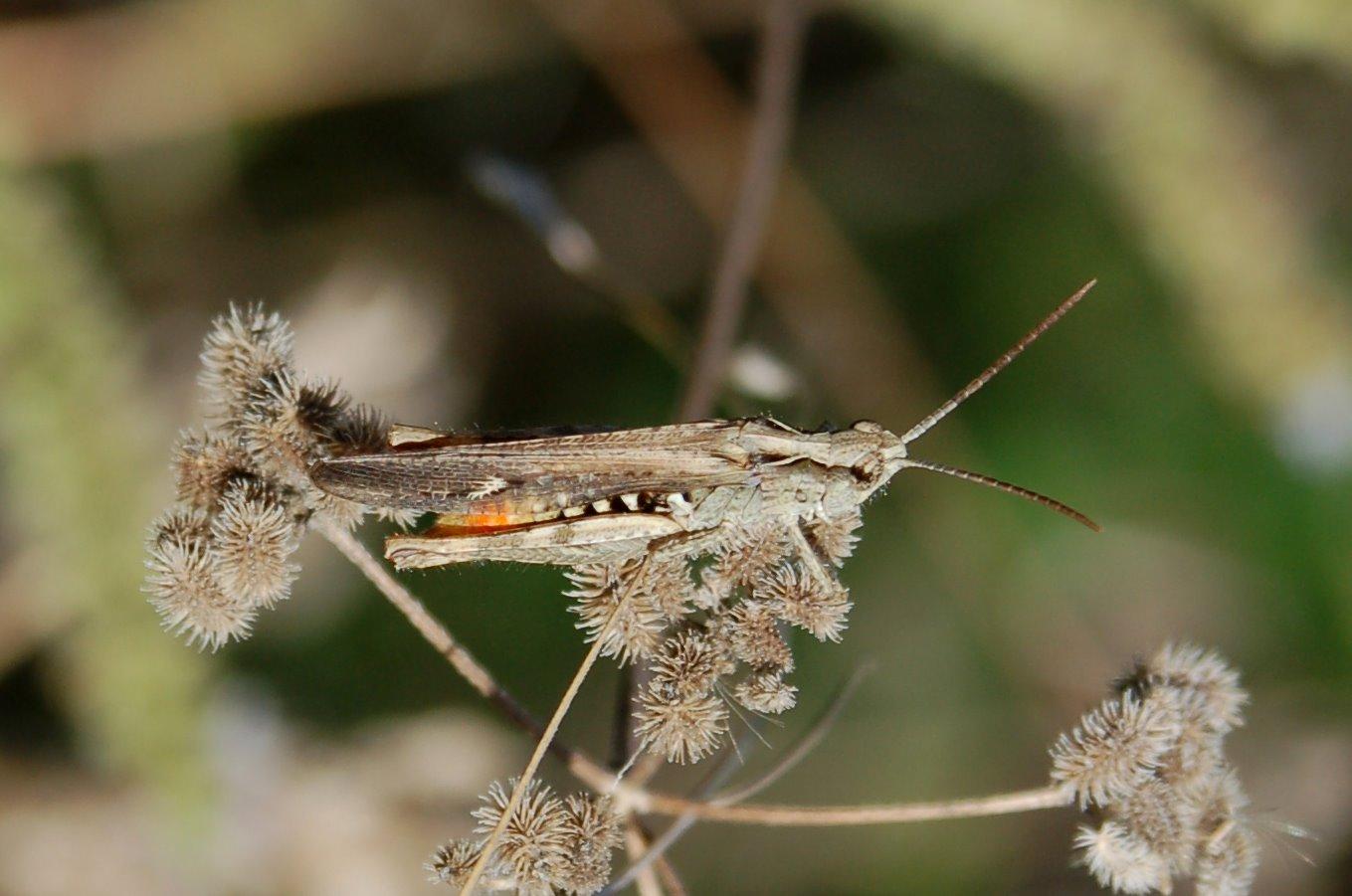 Dirshius sp. - Acrididae