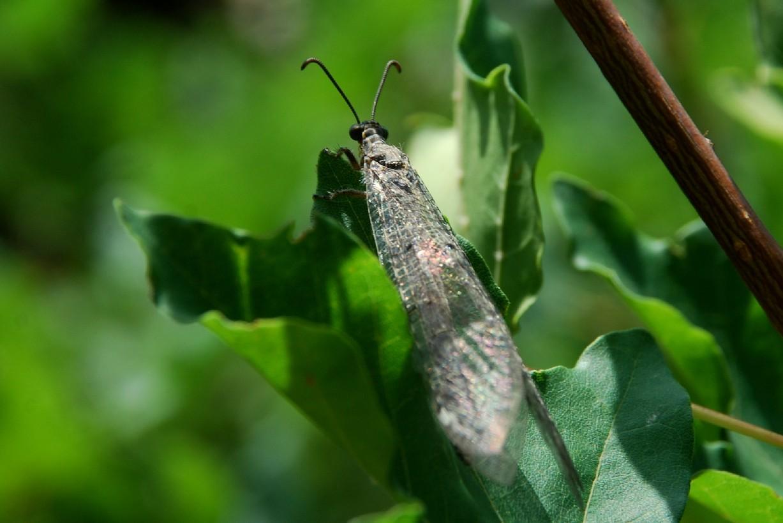 Distoleon tetragrammicus - Myrmeleontidae