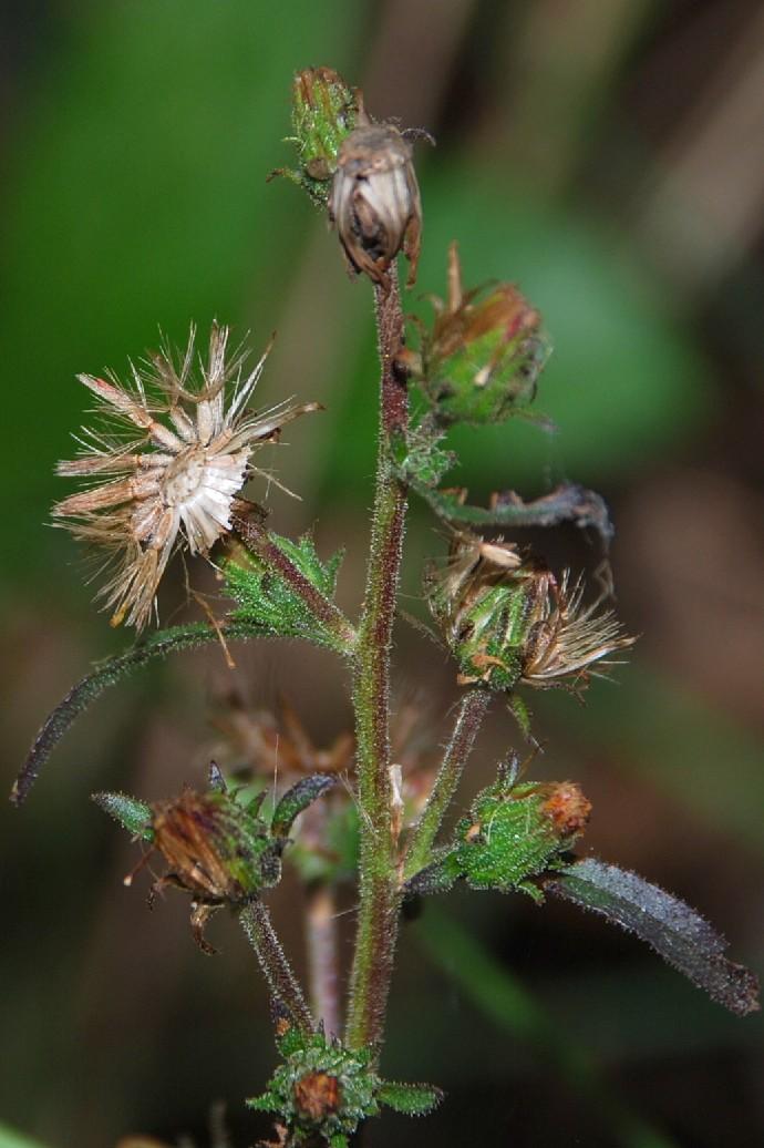 Dittrichia graveolens 10