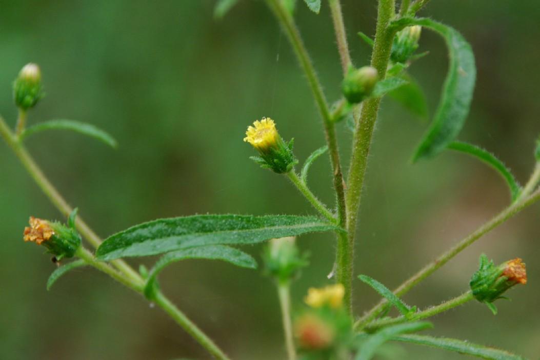 Dittrichia graveolens 4