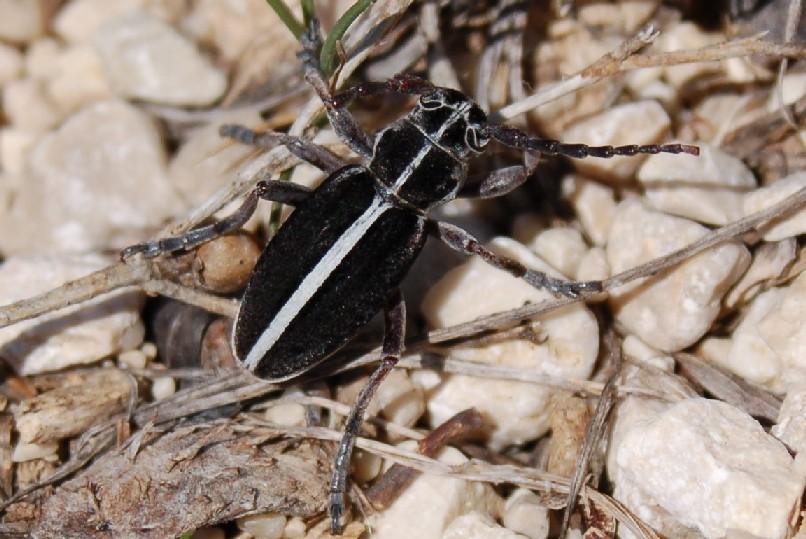 Dorcadion arenarium - Cerambycidae