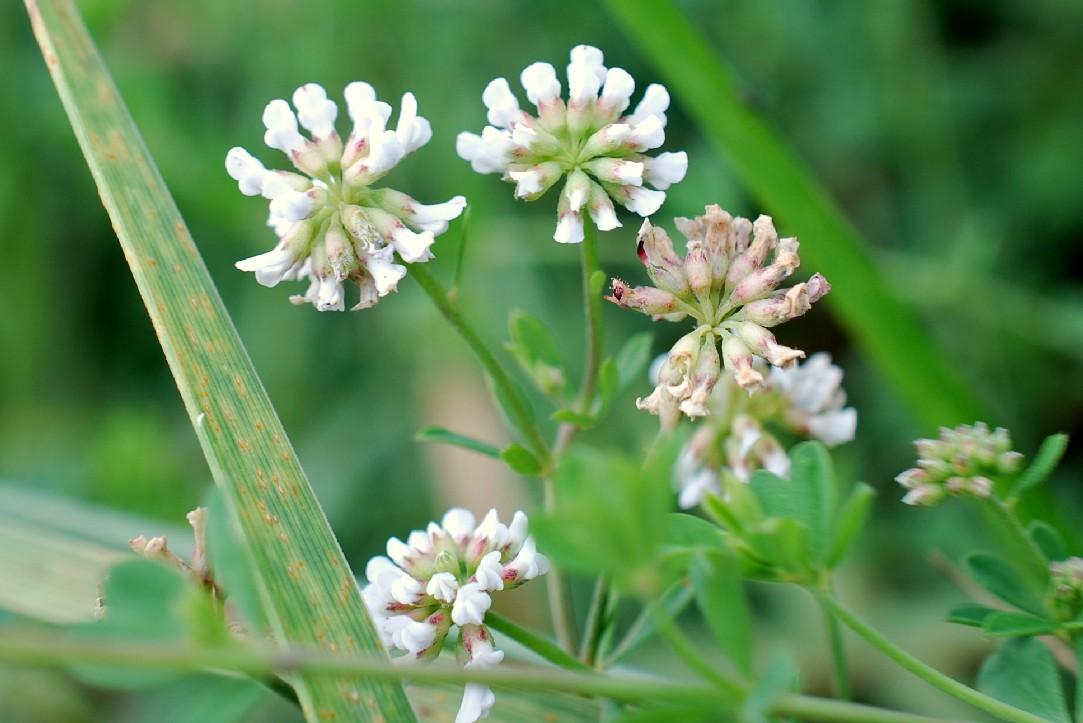 Dorycnium herbaceum 15