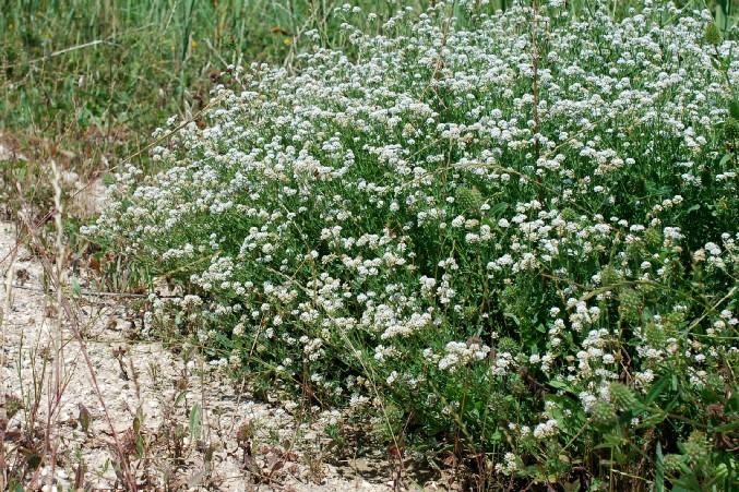 Dorycnium herbaceum 18