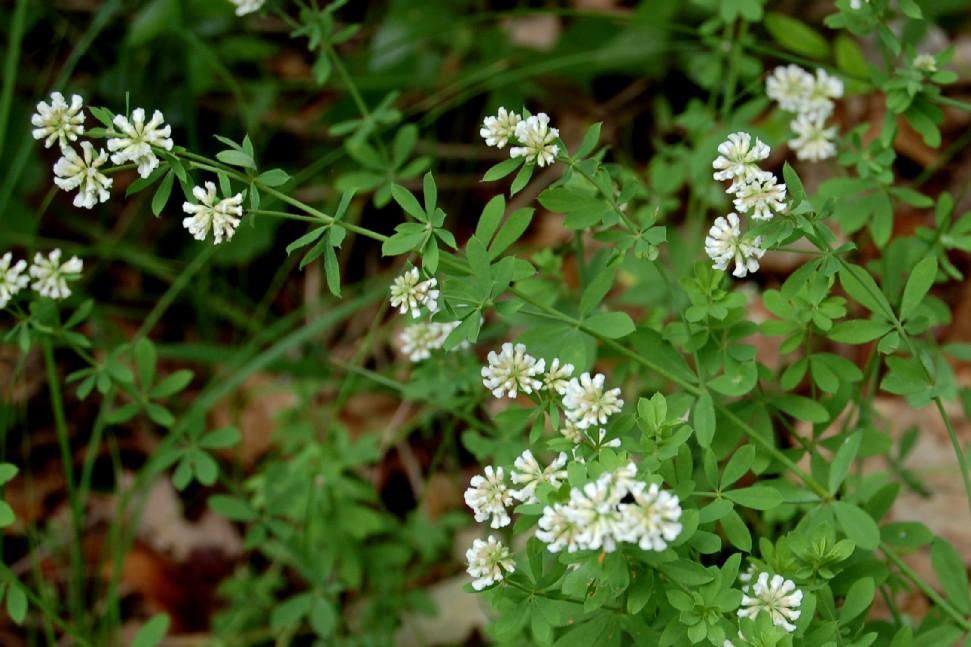 Dorycnium herbaceum subsp. herbaceum