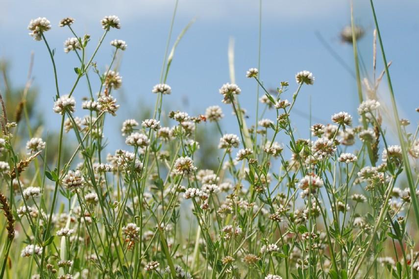 Dorycnium herbaceum subsp. herbaceum 10