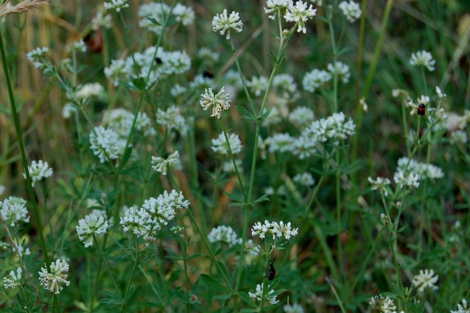 Dorycnium herbaceum subsp. herbaceum 2