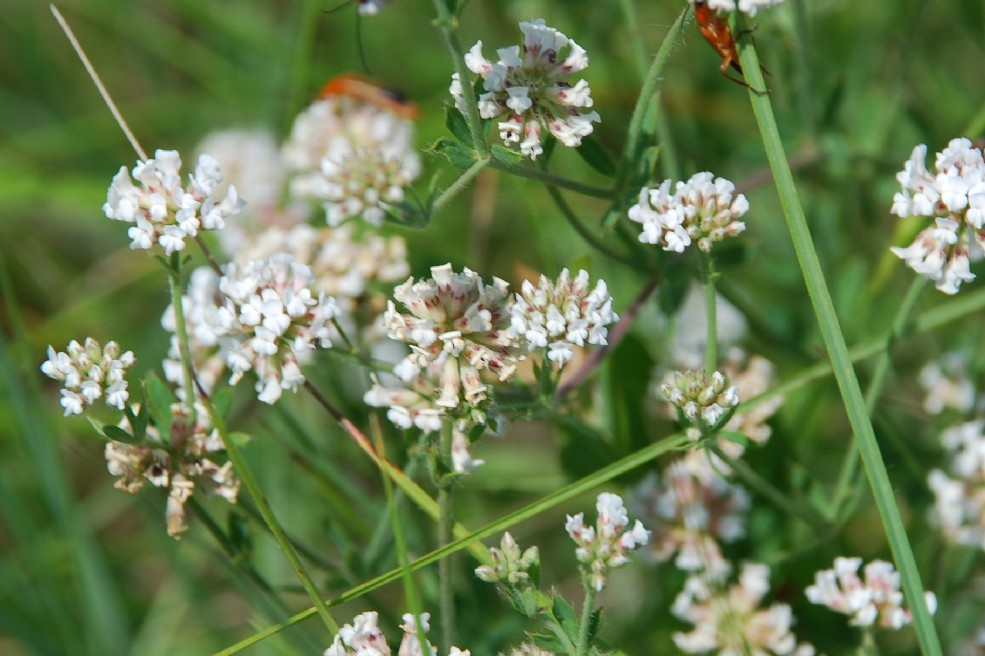 Dorycnium herbaceum subsp. herbaceum 7