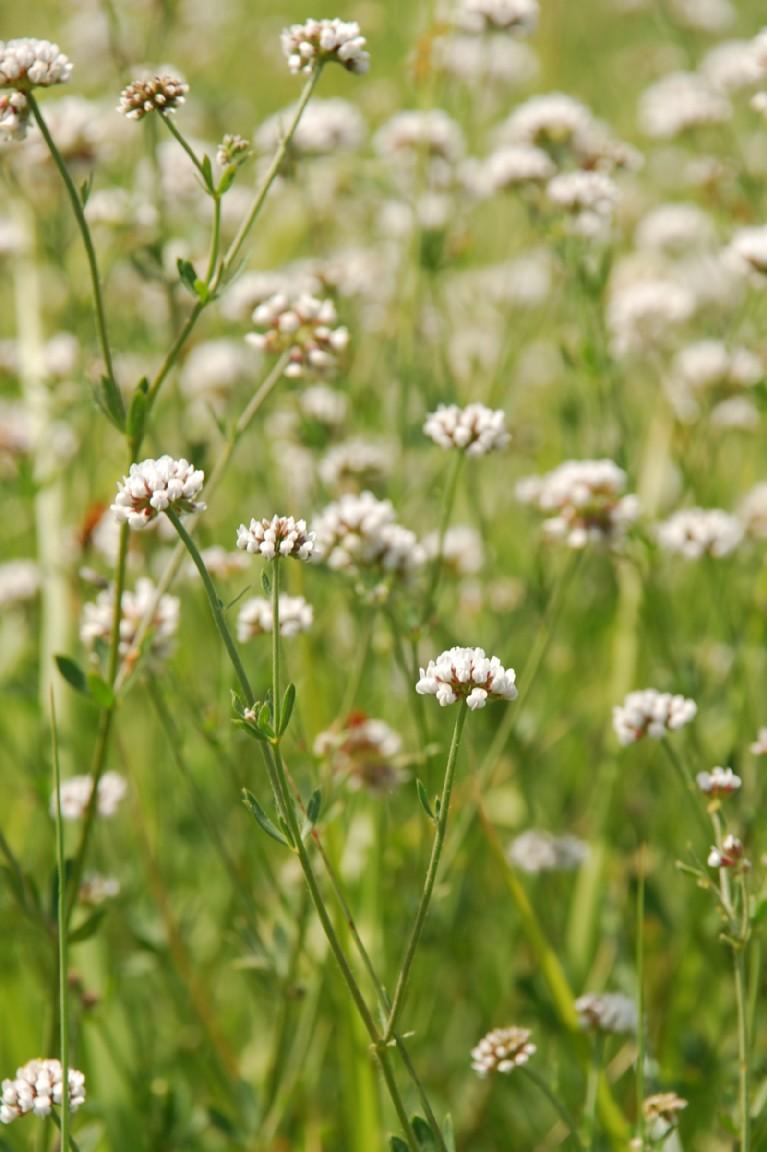 Dorycnium herbaceum subsp. herbaceum 9