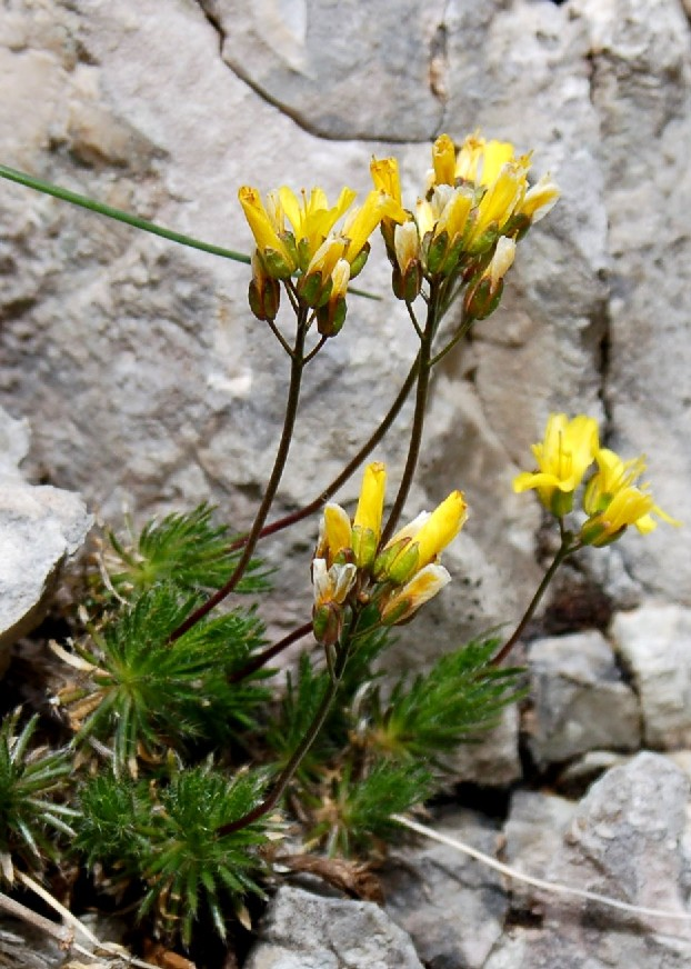Draba aizoides subsp. aizoides