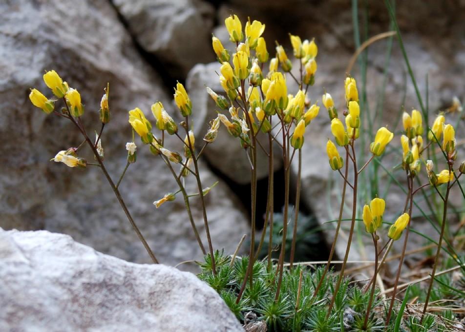 Draba aizoides subsp. aizoides 2