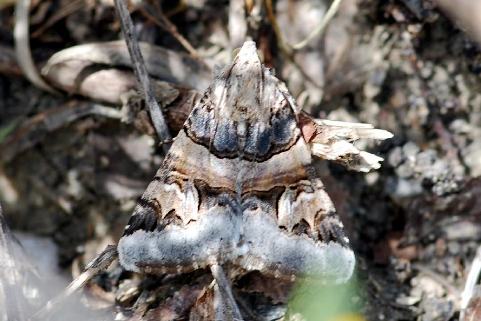 Drasteria cailino - Noctuidae