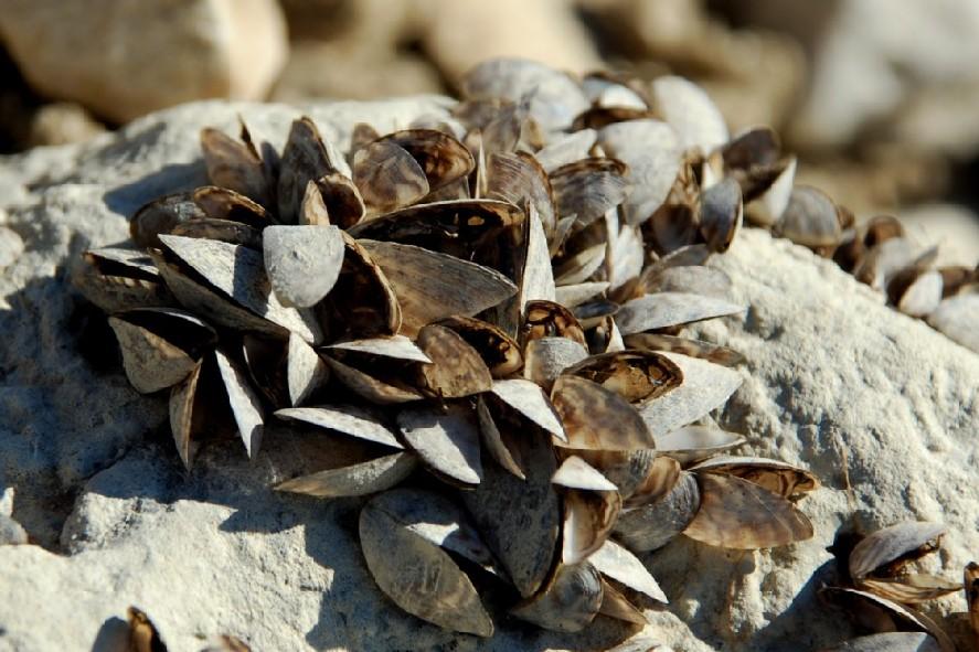 Dreissena polymorpha  - Dreissenidae