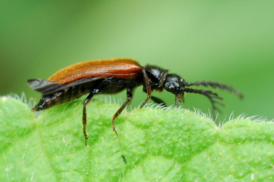 Drilus flavescens - Drilidae