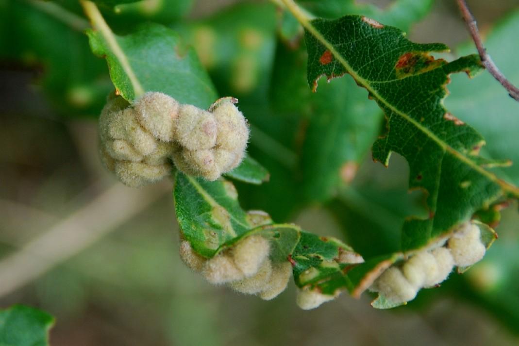 Dryomyia circinnans - Diptera, Cecidomyiidae