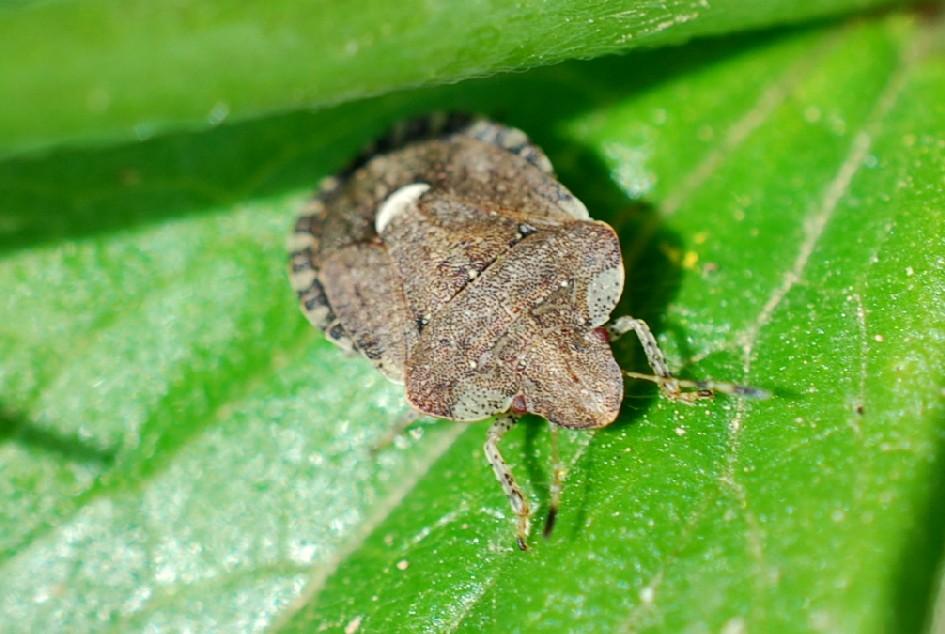Dyroderes umbraculatus - Pentatomidae