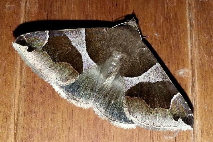 Dysgonia algira - Noctuidae