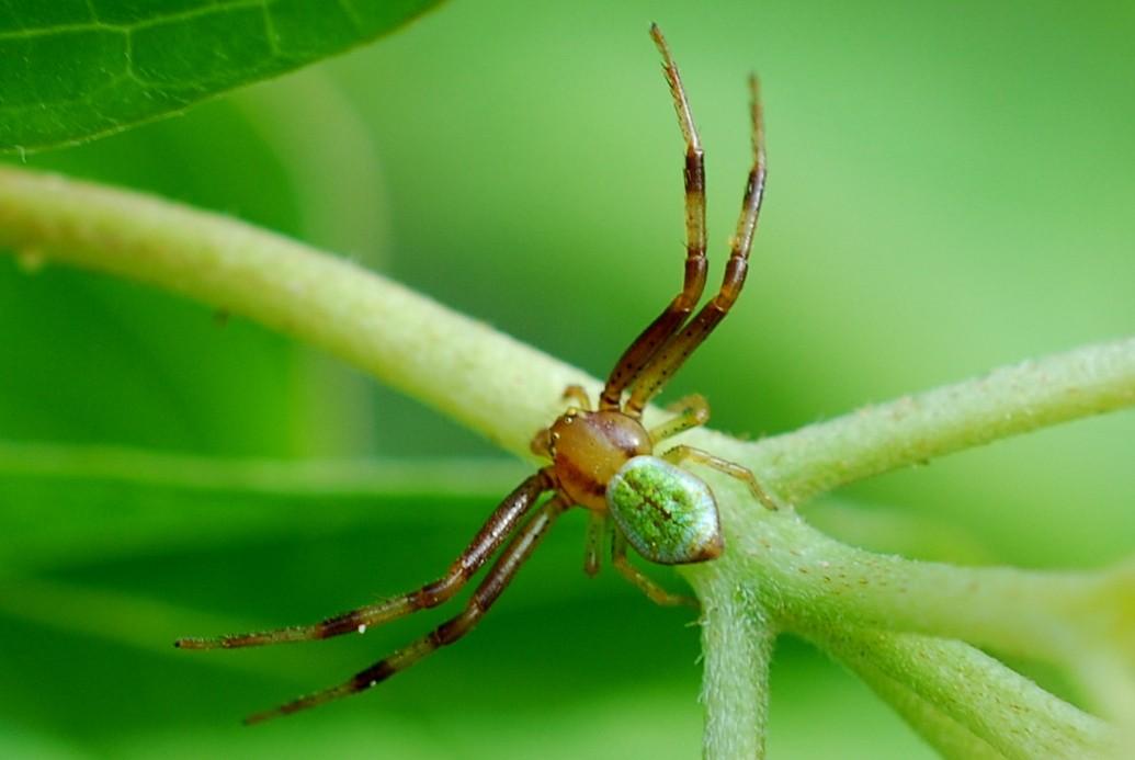 Ebrechtella tricuspidata - Thomisidae