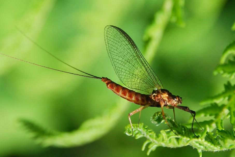 Ecdyonurus venosus - Heptageniidae