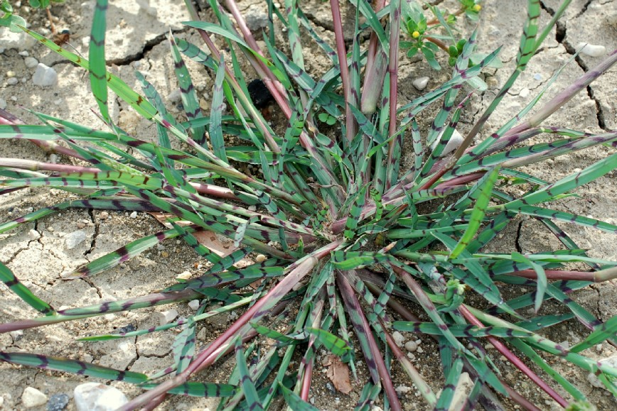 Echinochloa colona 23