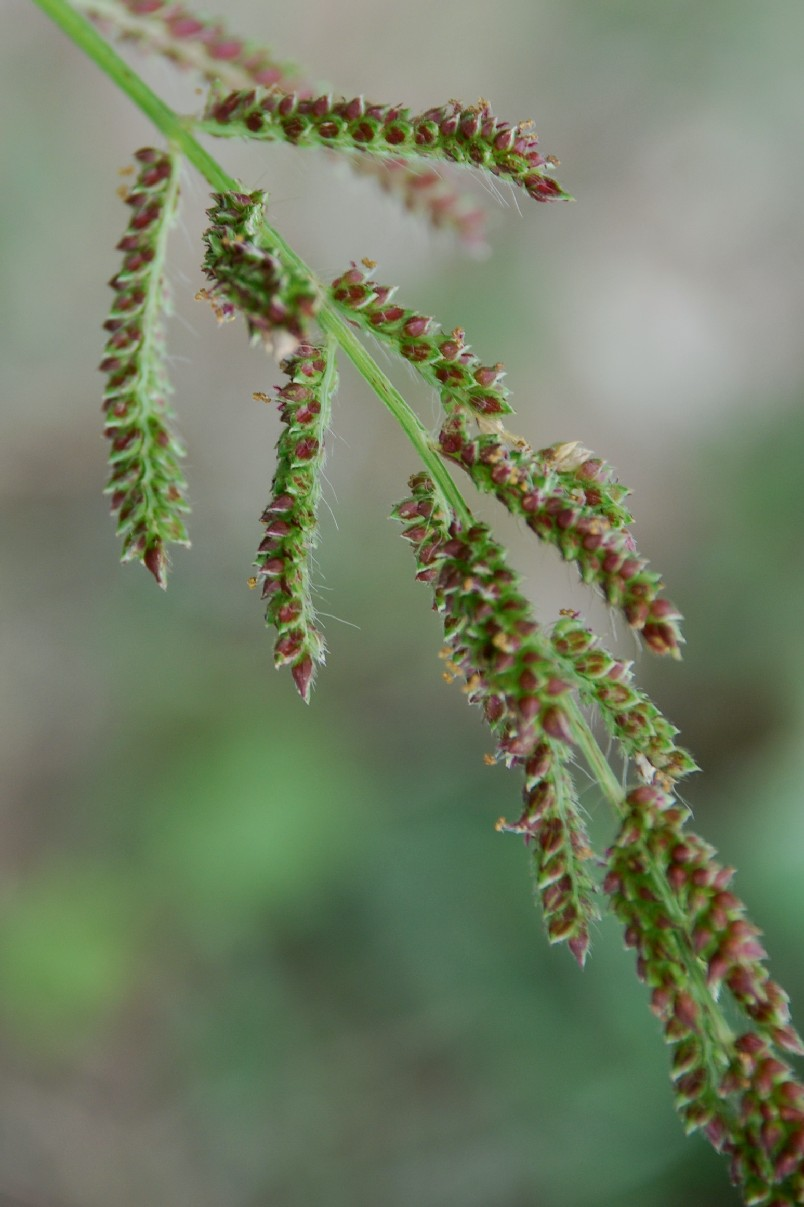 Echinochloa crus-galli 11