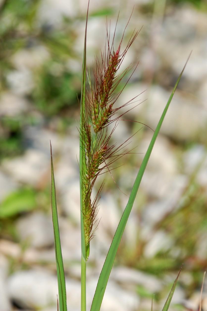 Echinochloa crus-galli 19