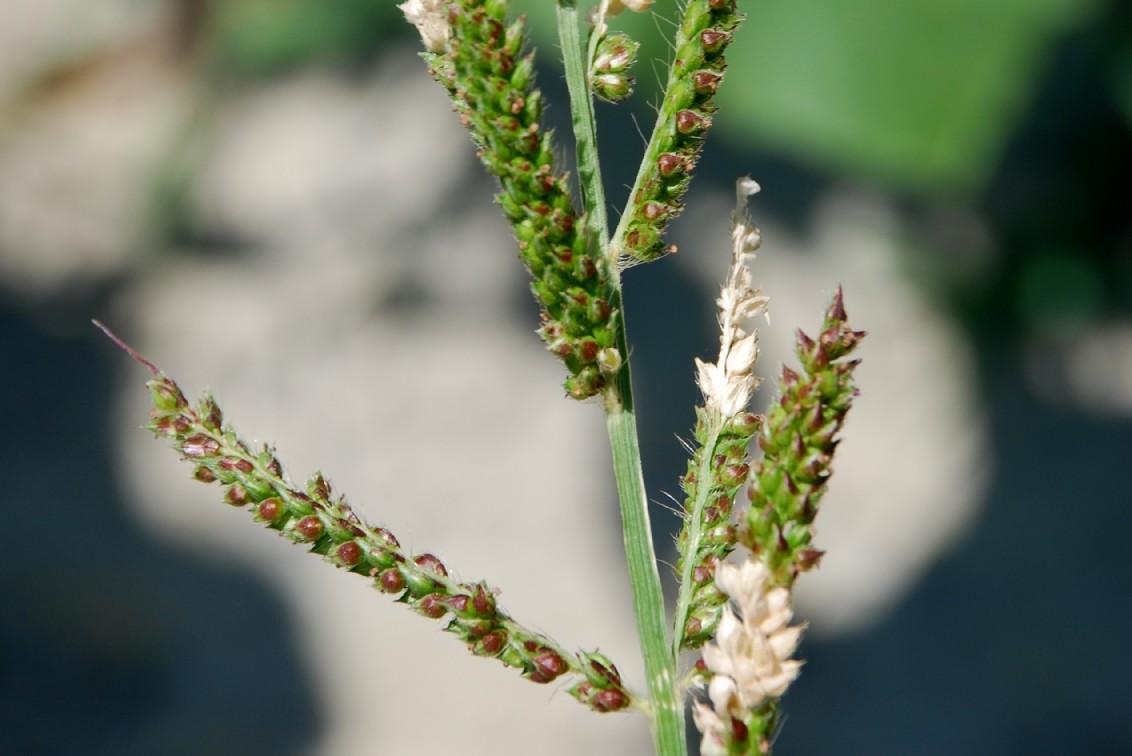 Echinochloa crus-galli 2