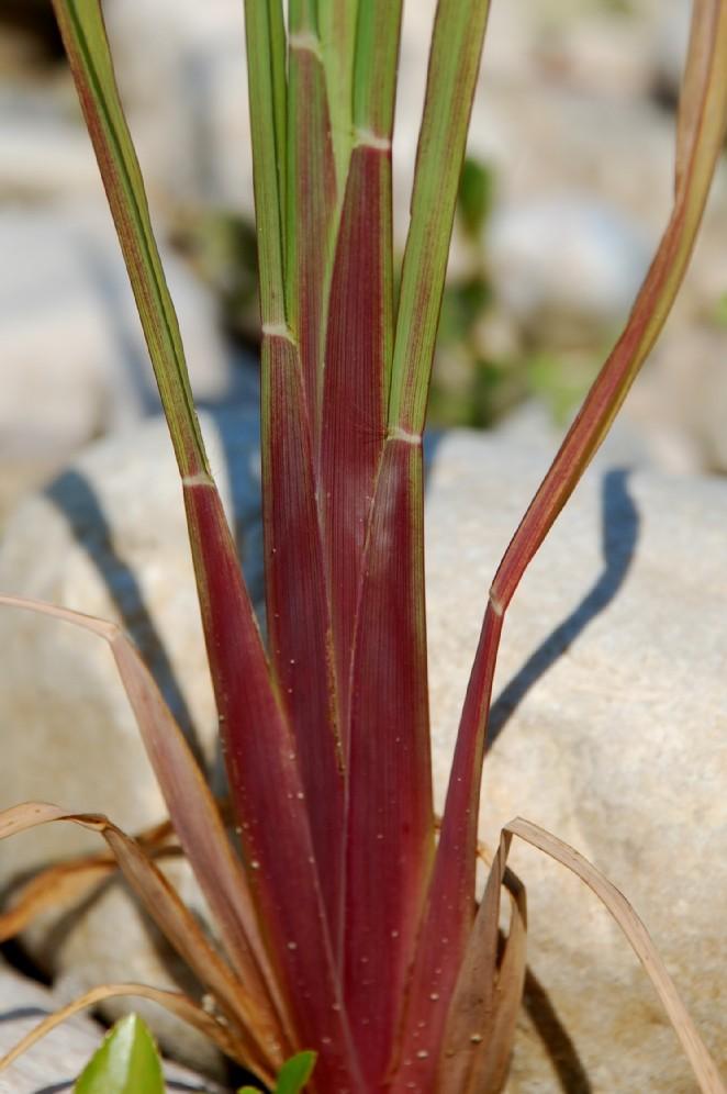 Echinochloa crus-galli 20