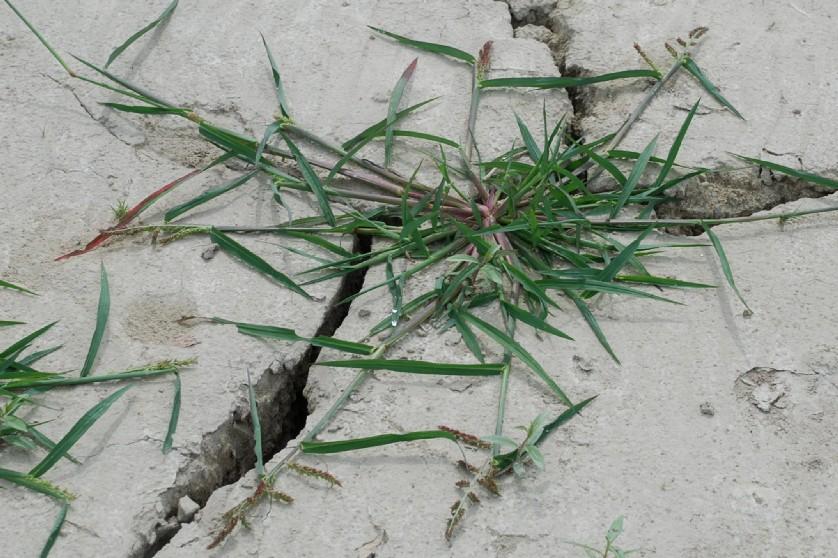 Echinochloa crus-galli 30