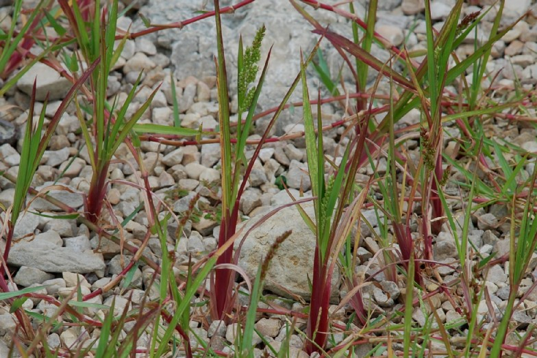 Echinochloa crus-galli 32