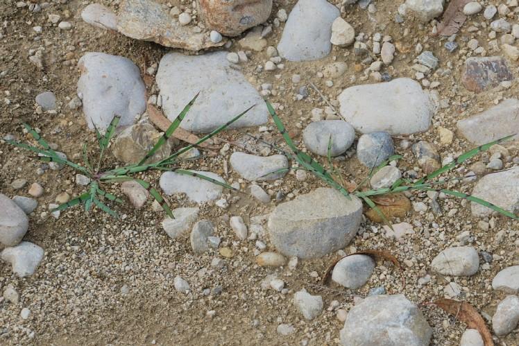 Echinochloa crus-galli 40