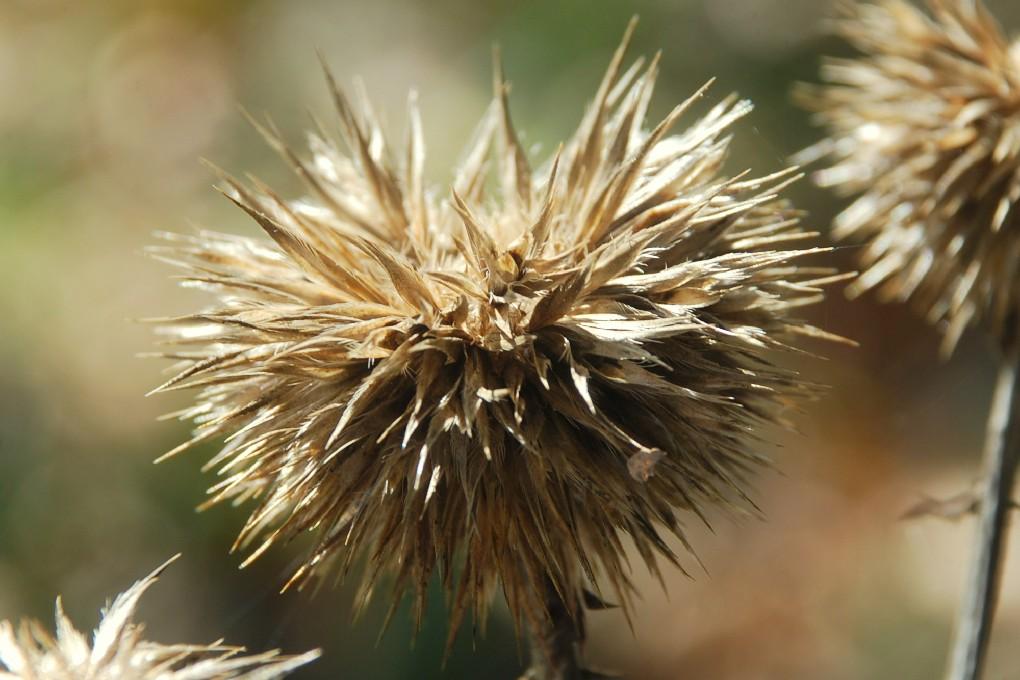 Echinops siculus 36