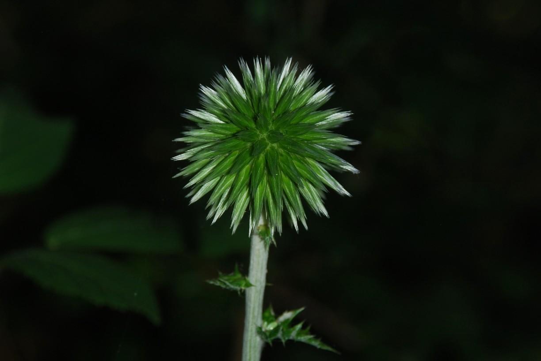 Echinops siculus 38
