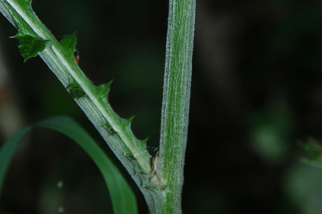 Echinops siculus 43