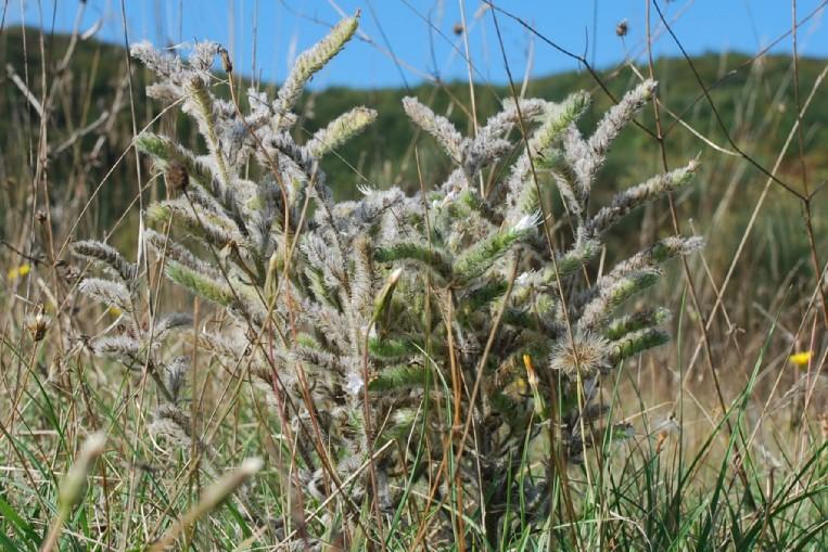 Echium italicum subsp. italicum 10