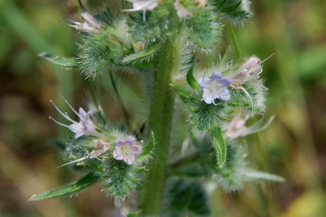 Echium italicum subsp. italicum 11