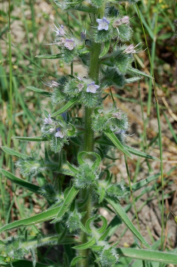 Echium italicum subsp. italicum 12