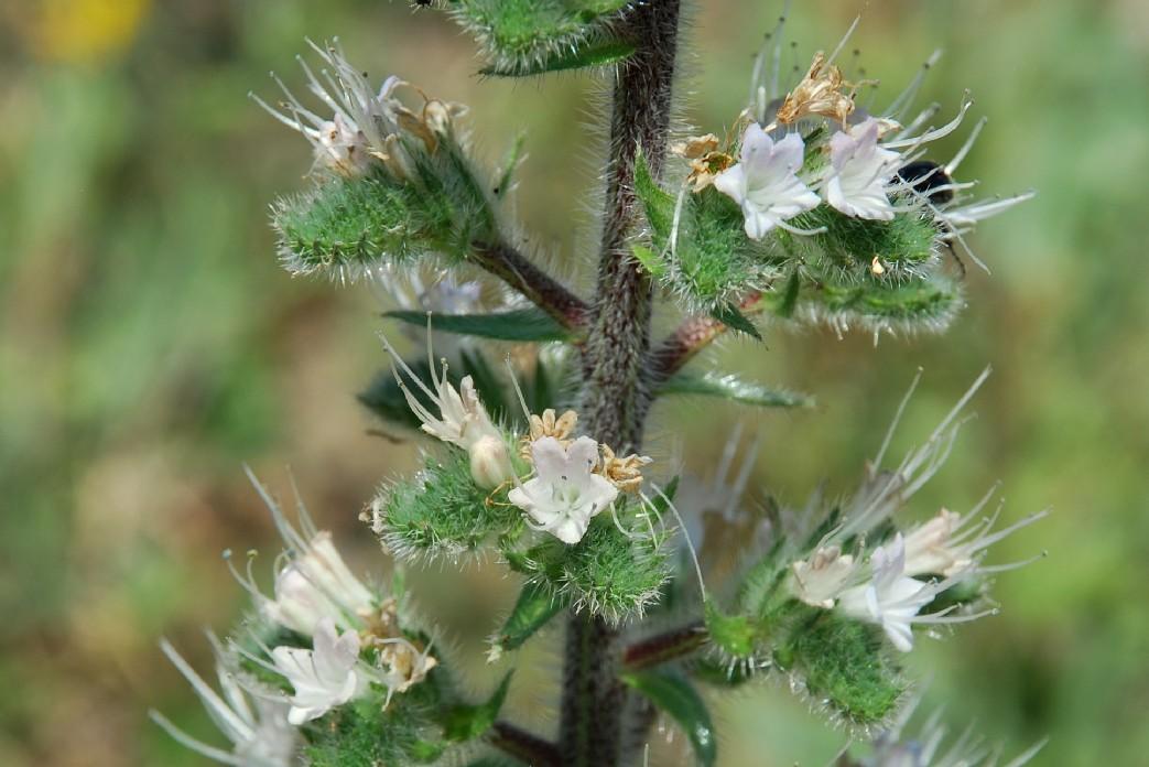 Echium italicum subsp. italicum