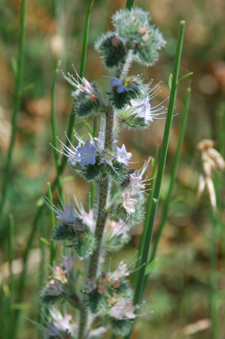 Echium italicum subsp. italicum 15