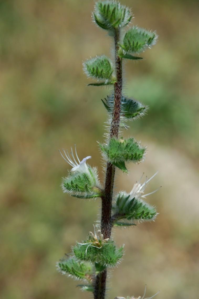 Echium italicum subsp. italicum 16