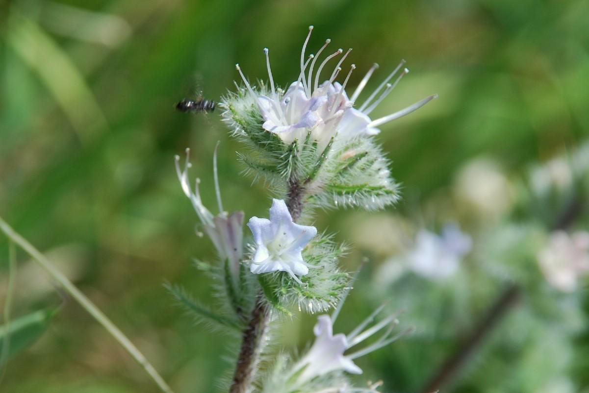 Echium italicum subsp. italicum 19